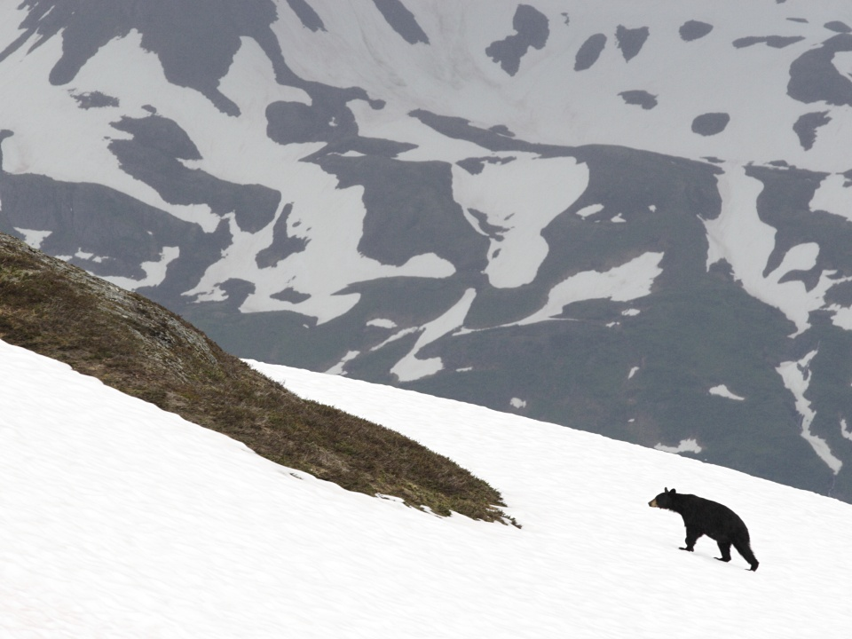 kenai fjords bear on snow