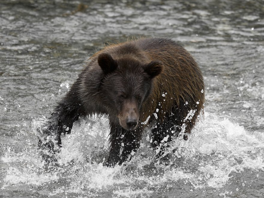 A Guide To Alaska Bear Viewing Locations