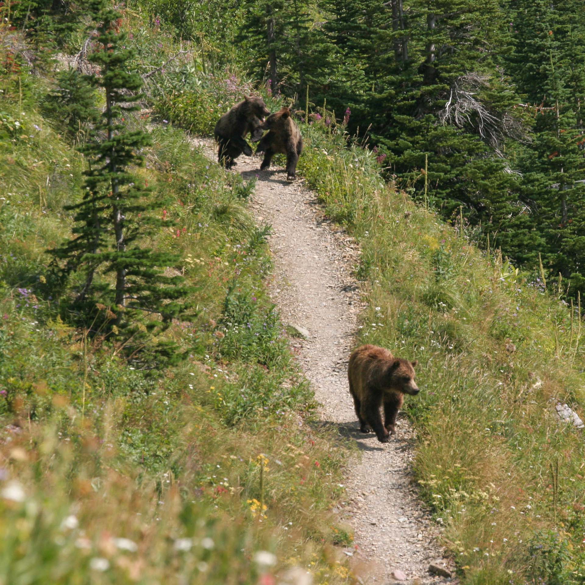 grizzly bears on Glacier hiking trail