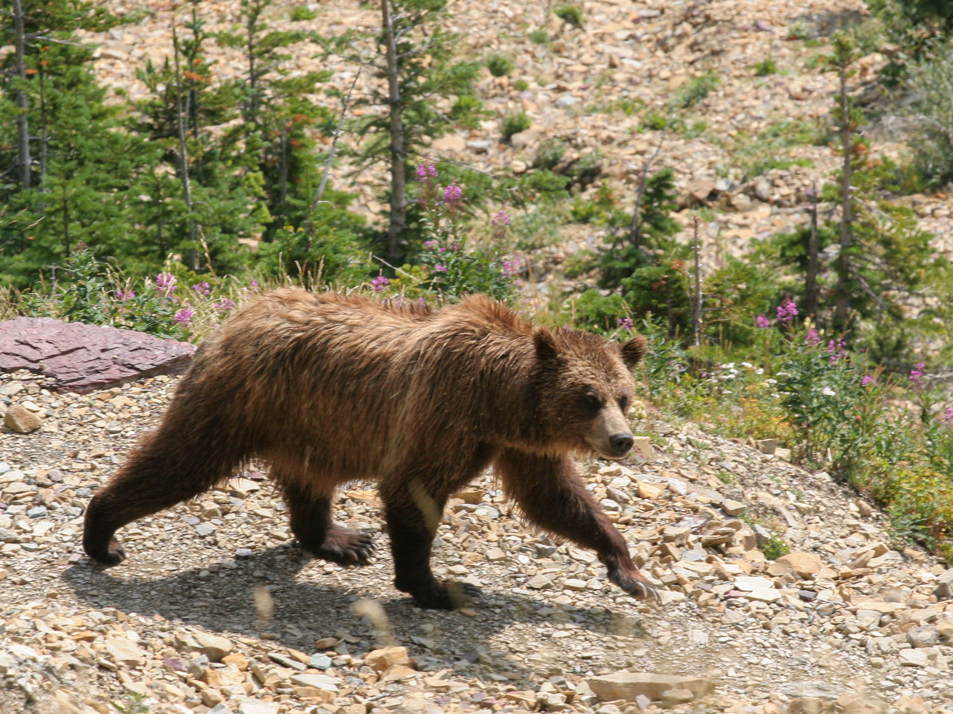 Glacier grizzly bear on hiking trail