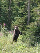 Bear cub in meadow, Glacier National Park