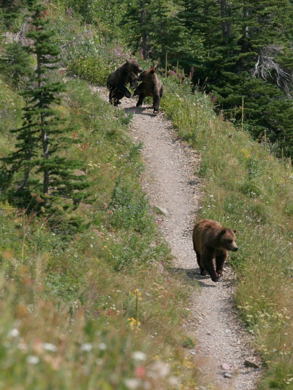 grizzly bear with cubs on hiking trail, glacier national park